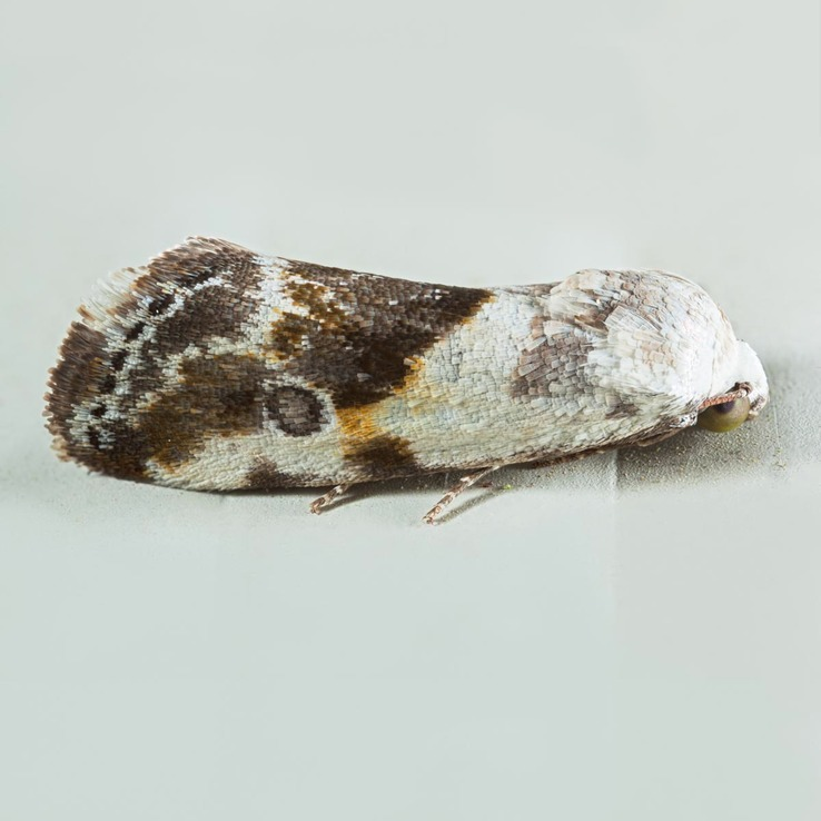 9090 – Ponometia candefacta – Olive-shaded Bird-dropping Moth