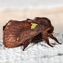 4697 Oak Slug Moth (Euclea sp.)