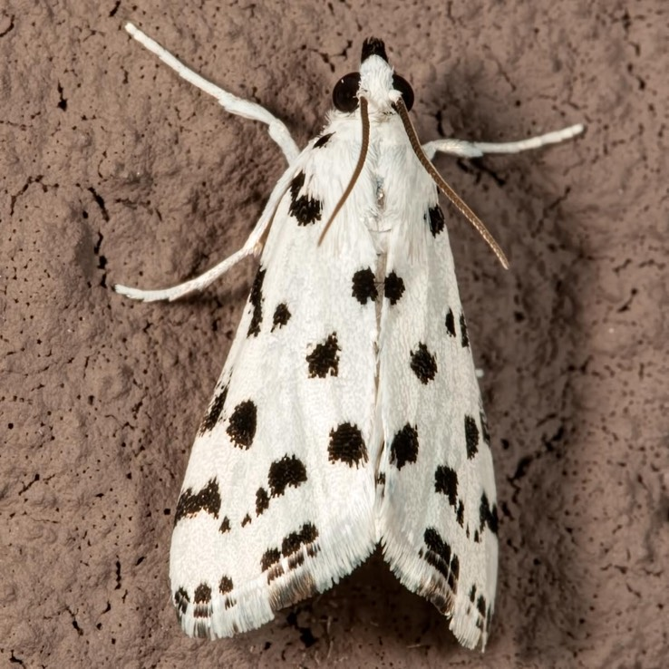 4794 Spotted Peppergrass Moth (Eustixia pupula)