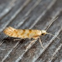 2435  – Argyresthia alternatella