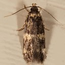 1134 Four-spotted Yellowneck Moth (Oegoconia quadripuncta)