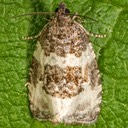 2848 Divided Olethreutes Moth (Olethreutes bipartitana)