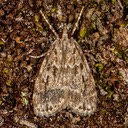 4719 Many-spotted Scoparia (Scoparia basalis)