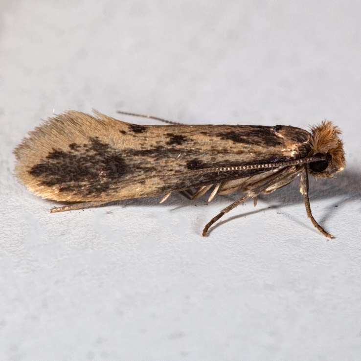 0411 Brown-dotted Clothes Moth (Niditinea fuscella)