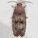 3494 Filbertworm Moth (Cydia latiferreana)