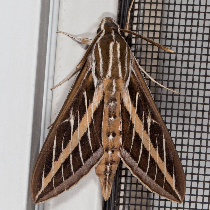 7894 White-lined Sphinx Moth (Hyles lineata)