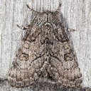 9193 The Brother Moth (Raphia frater)