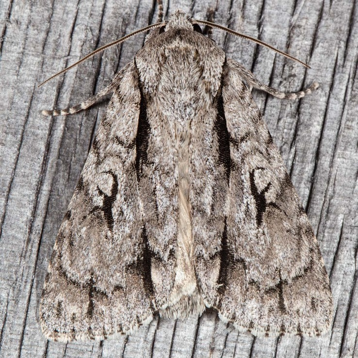 9227 Pleasant Dagger (Acronicta laetifica)
