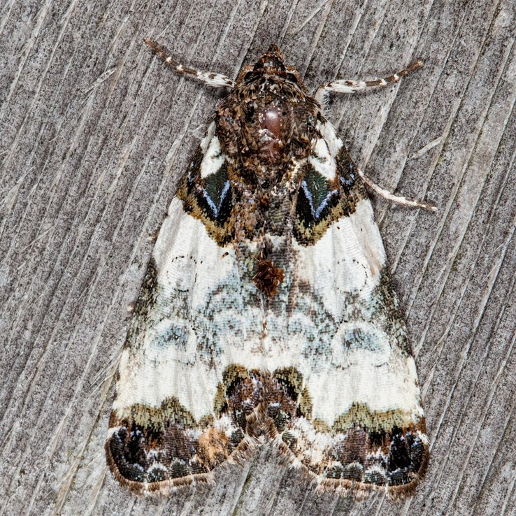 9062 Tufted Bird Dropping Moth (Cerma cerintha)