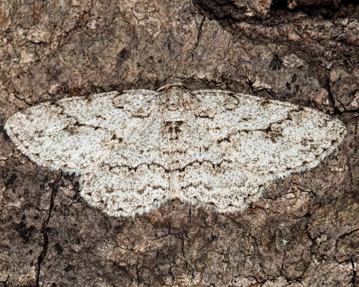 6597 Small Engrailed Moth (Ectropis crepuscularia)