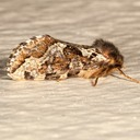 0031 Conifer Swift Moth (Korscheltellus gracilis)