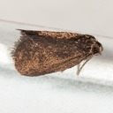 0437 – Psyche casta – Common Bagworm Moth