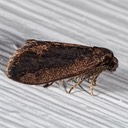0437 Common Bagworm Moth (Psyche casta)