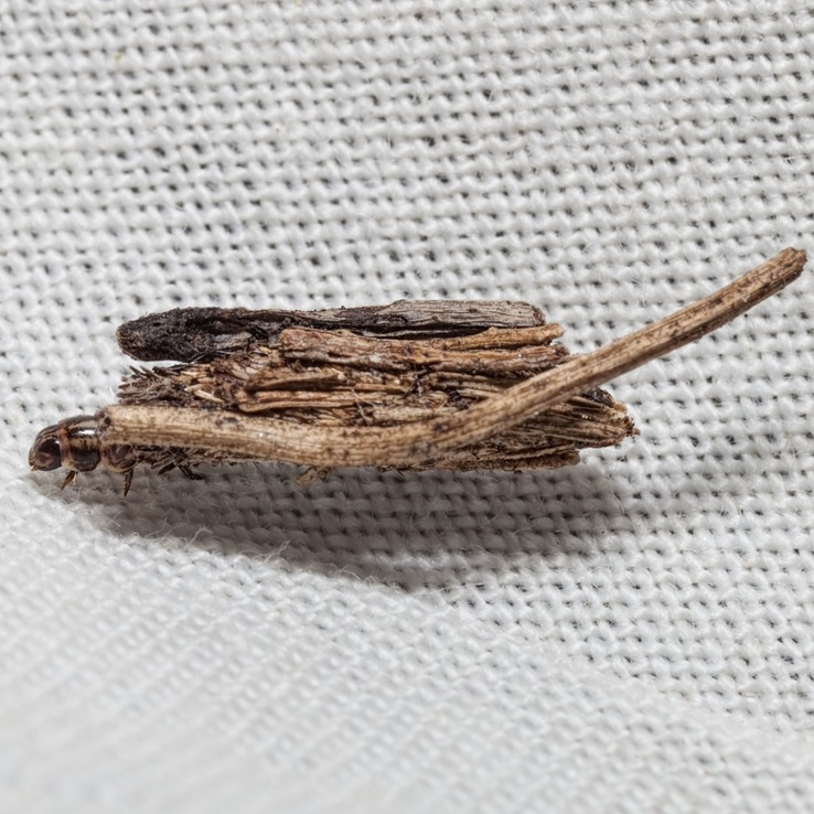 0437 Common Bagworm (Psyche casta)