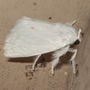 4673 Packard's White Flannel Moth (Alarodia slossoniae)