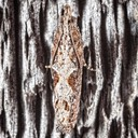 2907 Bayberry Leaftier Moth (Strepsicrates smithiana)