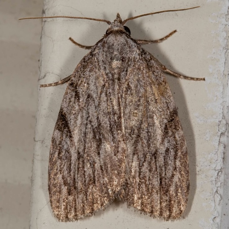 9663 – Three-lined Balsa Moth – Balsa tristrigella