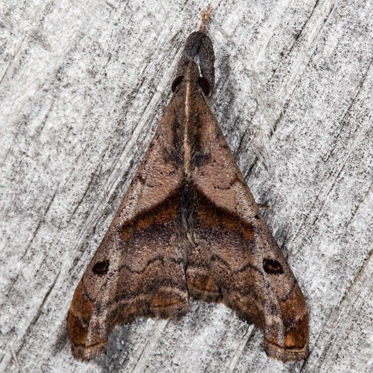 8397 Dark-spotted Palthis - Palthis angulalis