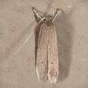 1422 Palm Leaf Skeletonizer (Homaledra sabalella)