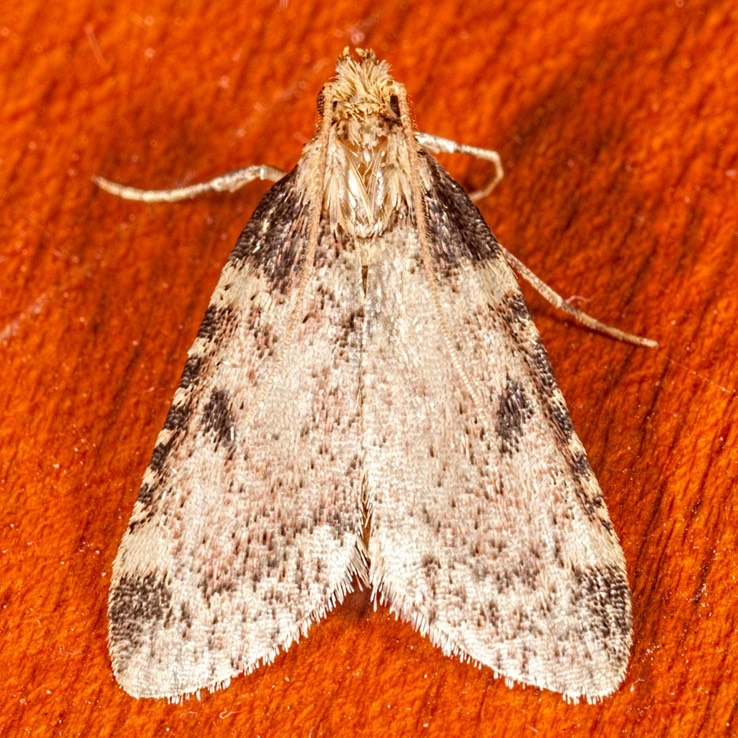5511 (Aglossa costiferalis)