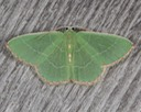 7046 Red-fringed Emerald (Nemoria bistriaria)