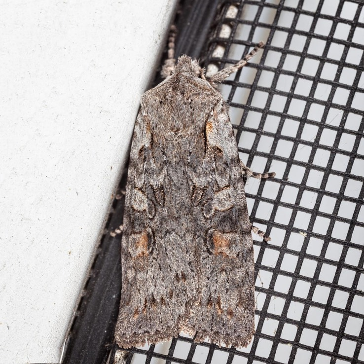 9910 Ashen Pinion Moth (Lithophane antennata)