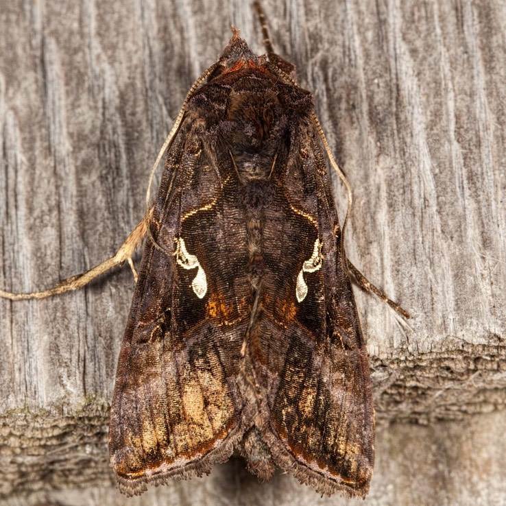 8908 Common Looper (Autographa precationis)