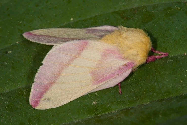 Dryocampa rubicunda - Rosy Maple Moth - Hodges #7715