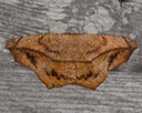 6982  Large Maple Spanworm Moth (Prochoerodes lineola)