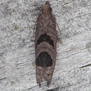 2936  Aster-head Phaneta Moth (Phaneta tomonana)