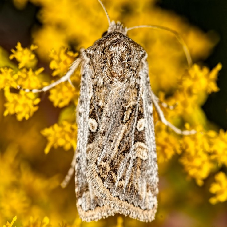 10838 Rubbed Dart (Euxoa detersa)