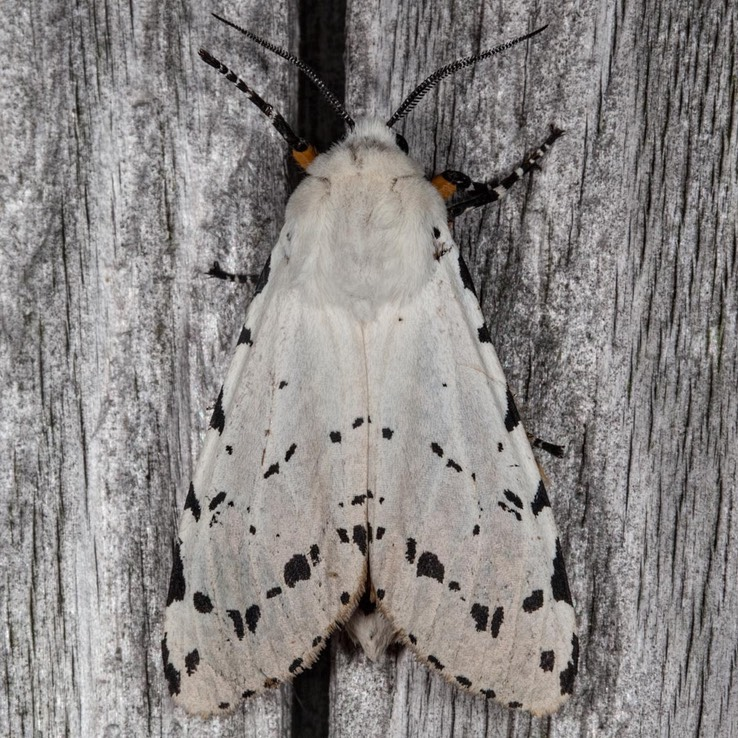 8131 Salt Marsh moth (Estigmene acrea)
