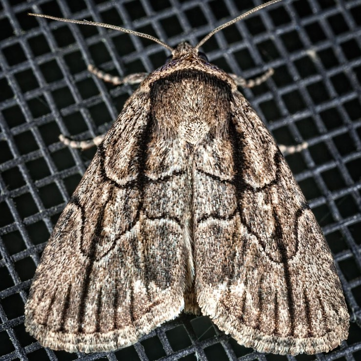 10059 Brown-lined Sallow (Sympistis badistriga)