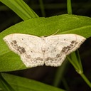 7159 Large Lace-border Moth (Scopula limboundata)