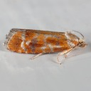 2867 European Pine Shoot Moth (Rhyacionia buoliana)