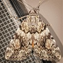 8878/8878.1 Little Lined Underwing (Catocala amica-lineella)