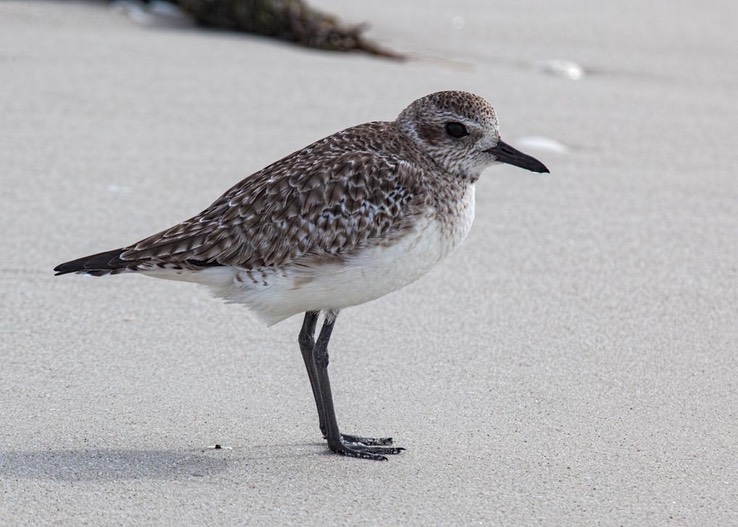 Black-bellied Plover (Pluvialis squatarola) winter plumage