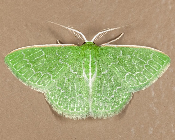 7059  Southern Emerald Moth (Synchlora frondaria)