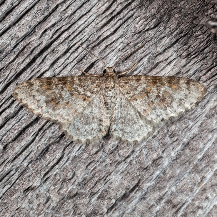 7422 Unadorned Carpet Moth - Hydrelia inornata