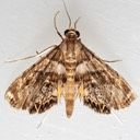 4769 Dimorphic Leafcutter Moth (Neargyractis slossonalis)